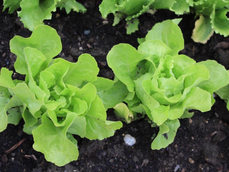 Bild zu Blattsalat