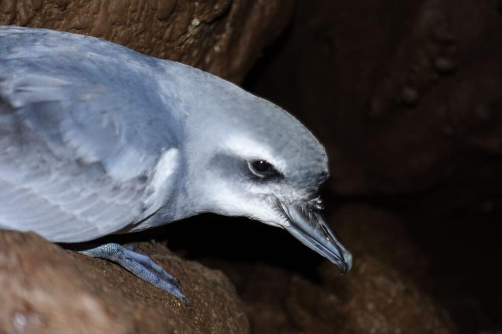 Mäuse bedrohen seltene Vogelart auf Atlantikinsel