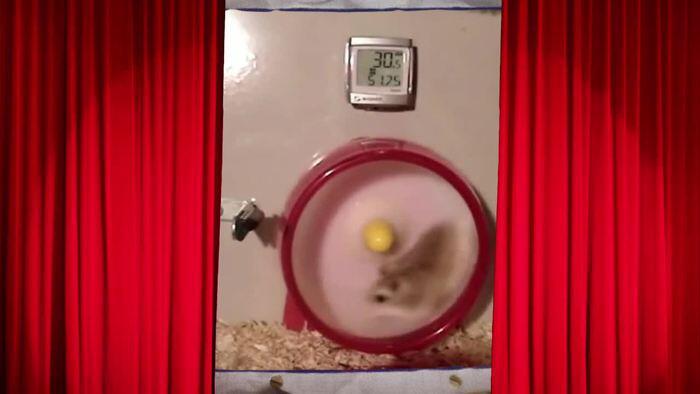 Bild zu Speedy Gonzales war gestern! Hier kommt der schnellste Hamster der Welt.