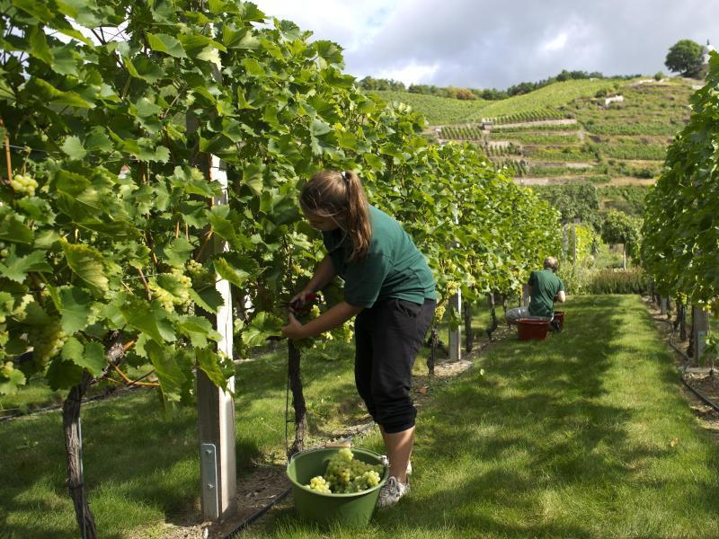 Bild zu Weinlese in Radebeul