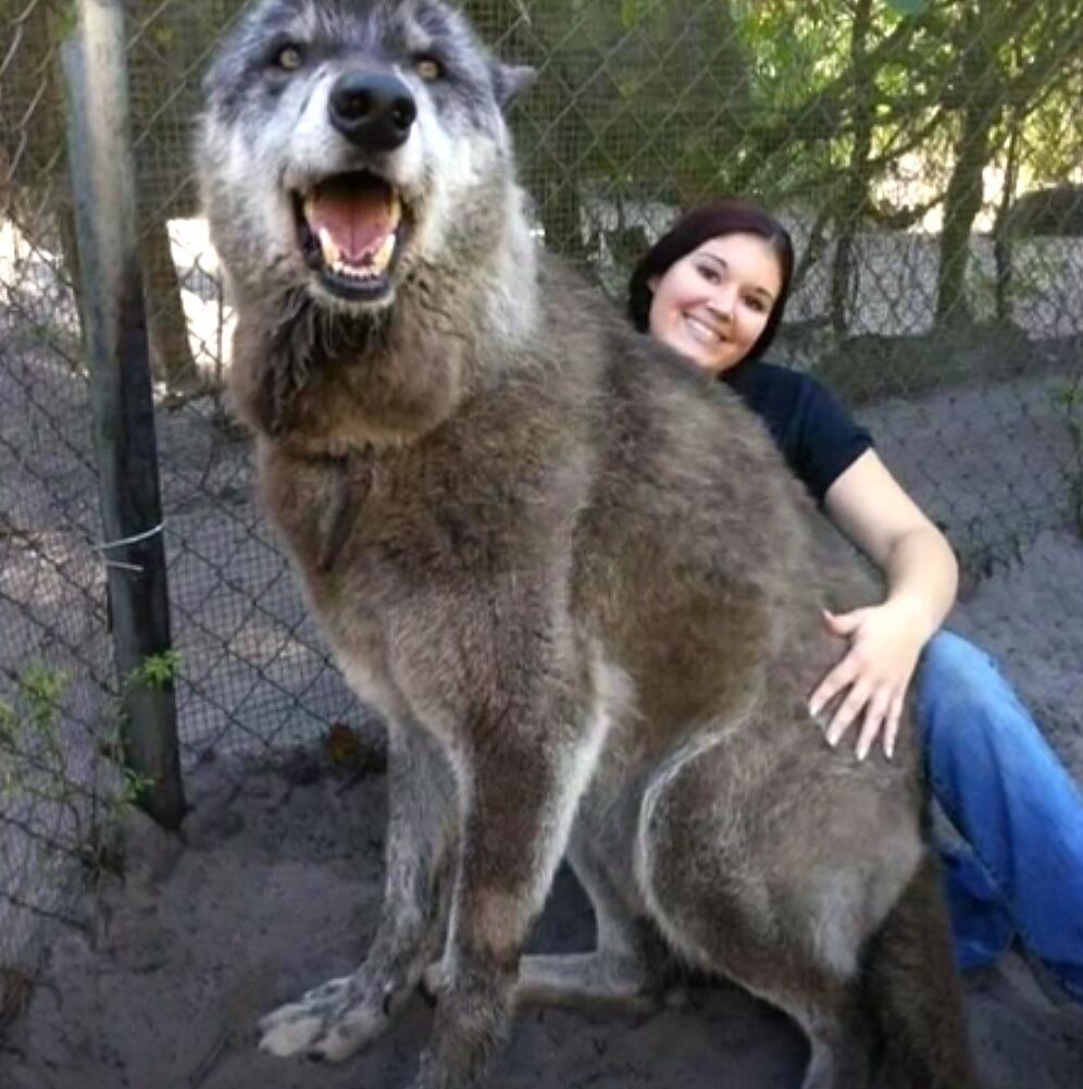 Bild zu Todkranker Vierbeiner: Riesiger Wolfshund erwärmt die Herzen