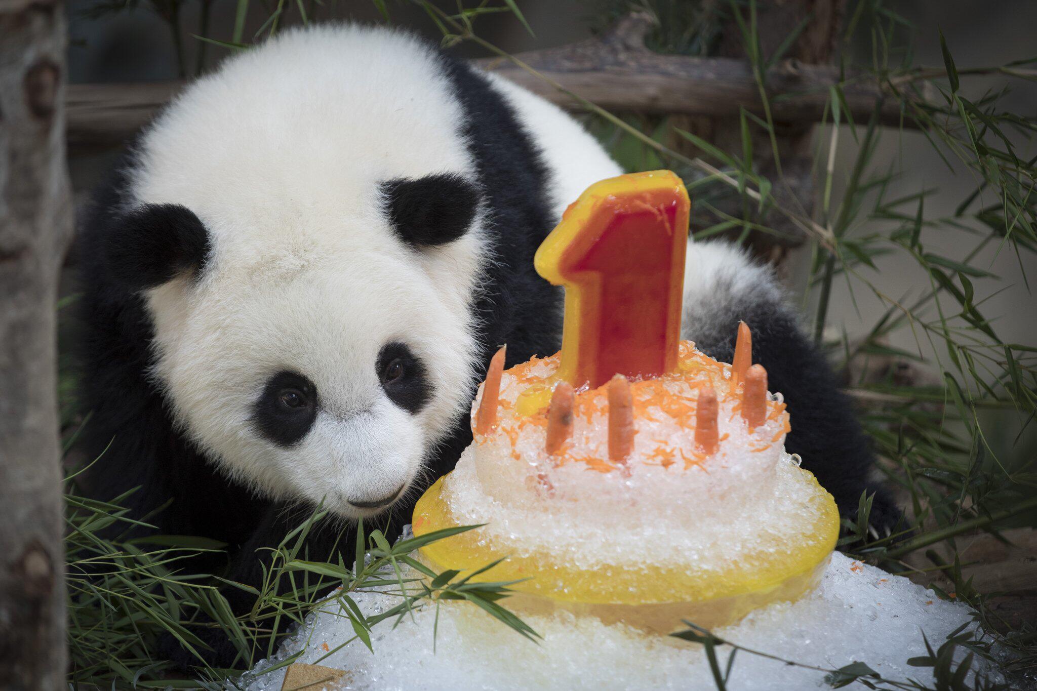Bild zu Panda im Zoo in Kuala Lumpur